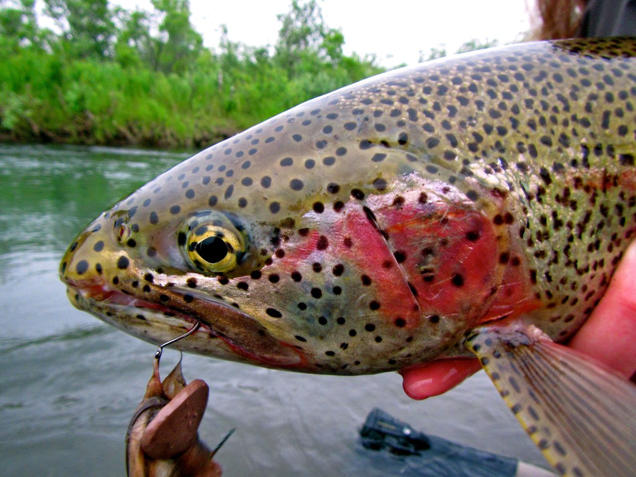 Mousing for Rainbow Trout at our Alaska Fly Fishing Lodge | Alaska ...