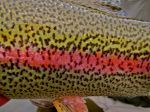 Scales of a Kanektok river rainbow