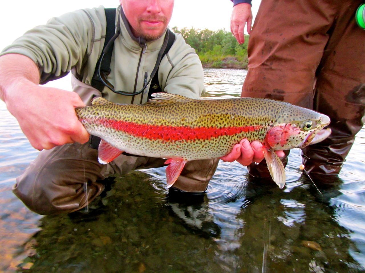 Bright rainbow trout on the kanektok alaska fly fishing for Alaska fly fishing