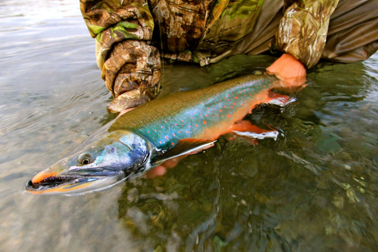 Dolly close up alaska fly fishing lodge for Dolly varden fish