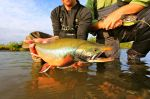 Dolly varden changing colors