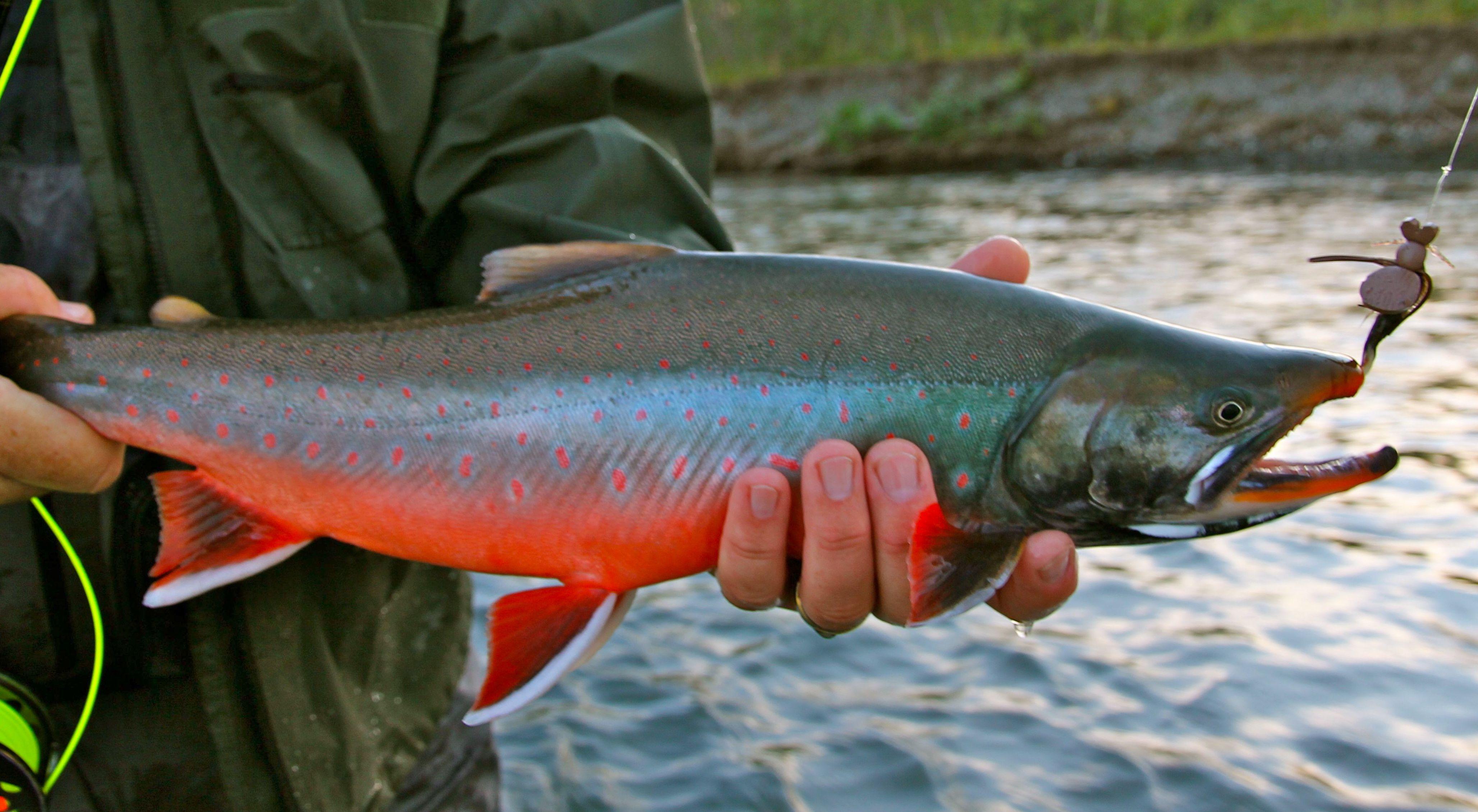 Img 3231 alaska fly fishing lodge for Dolly varden fish